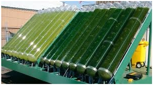 Use of Algae in Electricity Generation 1