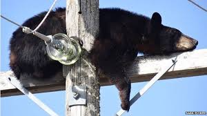 power-system-failures-bears-cattle